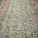 Mehrreihen-Gemüsesämaschine Rettich und Spinat